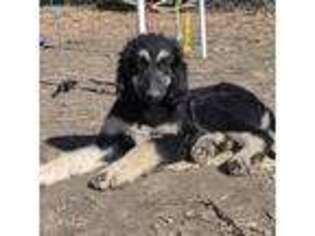 Afghan Hound Puppy for sale in Loma, MT, USA