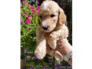 Puppyfinder com: Puppies for sale near me in 32526, Pensacola