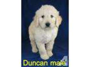 View Ad Goldendoodle Puppy For Sale Near Indiana Jasper Usa Adn