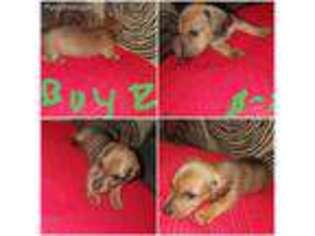 View Ad Dachshund Puppy For Sale Michigan Elsie Usa
