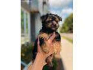 Yorkshire Terrier Puppy for sale in Des Moines, IA, USA