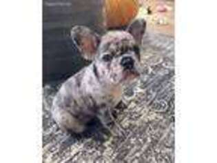 French Bulldog Puppy for sale in Santa Fe, NM, USA