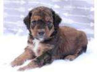 Puppyfinder com: Mutt puppies puppies for sale near me in