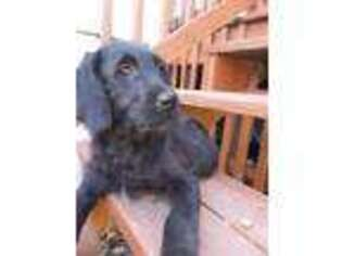Labradoodle Puppy for sale in Webster, MA, USA