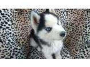 View Ad Siberian Husky Puppy For Sale Missouri Seymour Usa