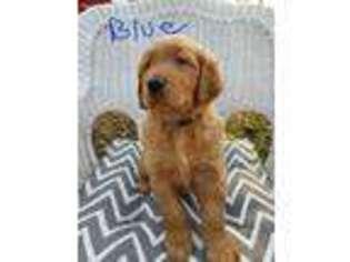 Golden Retriever Puppy For Sale near Colbert, OK, USA