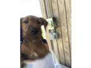 View Ad Irish Terrier Puppy For Sale Kansas Glasco Usa
