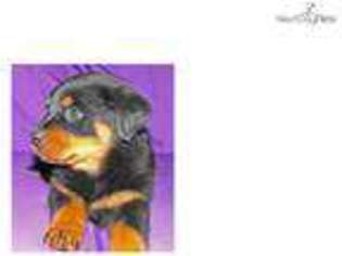 View Ad Rottweiler Puppy For Sale Missouri Springfield Usa
