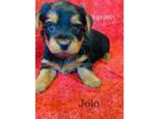 Yorkshire Terrier Puppy for sale in Ireton, IA, USA