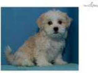 Mal-Shi Dog For Adoption in Edinburg, TX, USA