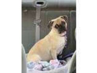 Pug Puppy for sale in Falls Mills, VA, USA