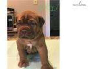 American Bull Dogue De Bordeaux Puppy for sale in Annapolis, MD, USA