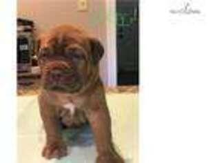 Medium Photo #1 American Bull Dogue De Bordeaux Puppy For Sale in Annapolis, MD, USA