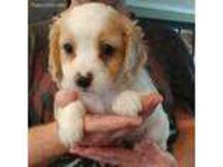 View Ad: Cavapoo Puppy for Sale near Alabama, Fyffe, USA