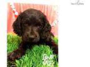 View Ad Boykin Spaniel Puppy For Sale Mississippi Hattiesburg Usa