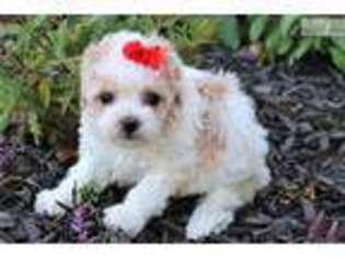 View Ad: Mutt Puppy for Sale near Louisiana, Monroe, USA