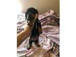 Dachshund Puppy for sale in Ledbetter, TX, USA