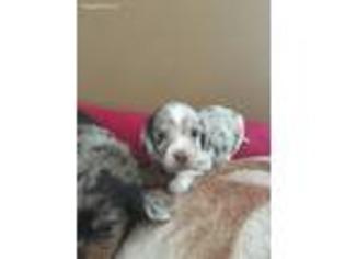 Puppyfindercom Dachshund Puppies For Sale Near Me In Lynchburg