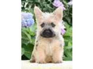 View Ad: Cairn Terrier Puppy for Sale near Ohio