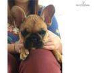 View Ad French Bulldog Puppy For Sale Alabama Birmingham Usa