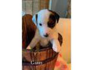 Jack Russell Terrier Puppy for sale in Wills Point, TX, USA