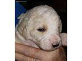 Puppyfinder com: Puppies puppies for sale near me in 32526