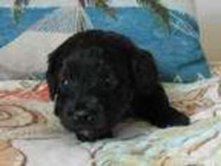 View Ad Cavapoo Puppy For Sale New Jersey Tuckerton Usa