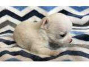 View Ad Chihuahua Puppy For Sale Near Georgia Bethlehem Usa Adn