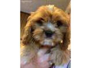 Puppyfinder com: Cavachon puppies puppies for sale near me in