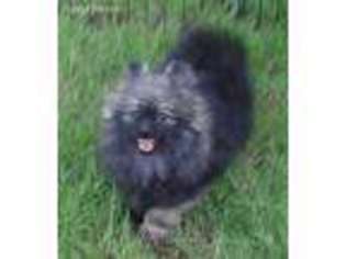 View Ad Pomeranian Puppy For Sale Oklahoma Tulsa Usa