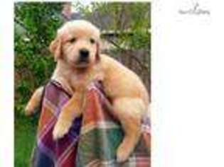 Golden retriever puppies for sale near houston texas