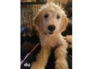 View Ad Goldendoodle Puppy For Sale Near New Jersey North