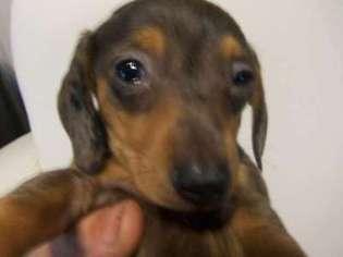 View Ad Dachshund Puppy For Sale Virginia Fairfax Usa