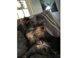 Yorkshire Terrier Puppy for sale in Freehold, NJ, USA