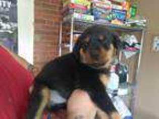 View Ad Rottweiler Puppy For Sale Colorado Denver Usa
