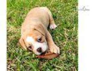 Olde English Bulldogge Puppy for sale in Lafayette, LA, USA