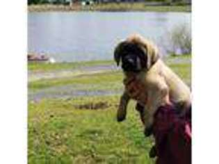 View Ad Mastiff Puppy For Sale North Carolina Troy Usa
