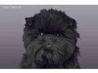 View Ad Affenpinscher Puppy For Sale Near Florida Oviedo Usa Adn