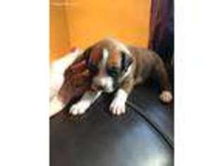 View Ad Boxer Puppy For Sale Oregon Salem Usa