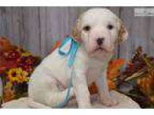 English Setter Puppy for sale in Youngstown, OH, USA