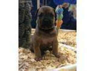 View Ad: Boerboel Puppy for Sale near Texas, Royse City, USA