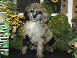 Mutt Puppy for sale in Hutchinson, KS, USA