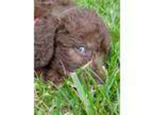 View Ad Labradoodle Puppy For Sale Virginia Mouth Of Wilson Usa