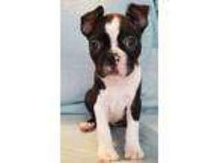 Puppyfinder com: Boston Terrier puppies puppies for sale and