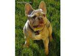 French Bulldog Puppy for sale in Greer, SC, USA