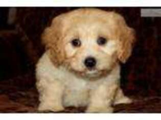 Puppyfinder com: Cavachon puppies puppies for sale near me