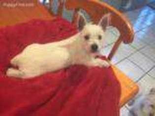 Puppyfinder com: West Highland White Terrier puppies for