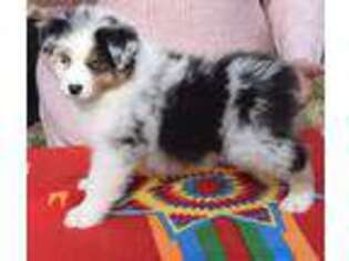 Australian Shepherd Puppy for sale in Goldston, NC, USA