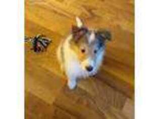 Puppyfinder Com Collie Puppies Puppies For Sale Near Me In Iowa Usa
