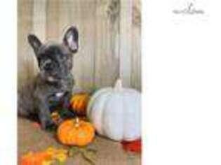 French Bulldog Puppy for sale in Salt Lake City, UT, USA